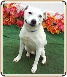 04/08/16 - SUPER URGENT!!~~ THIS IS A KILL SHELTER!!~~~~Marietta, GA - Boxer Mix. Meet BANDIT - Guest, a dog for adoption. http://www.adoptapet.com/pet/14202611-marietta-georgia-boxer-mix