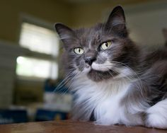 Merlin relaxes early Saturday afternoon on my desk in the office. #aww #cute #cutecats #catsofpinterest #cuddle #fluffy #animals #pets #bestfriend #boopthesnoot