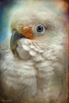 dontcallmebetty:    Finer Feathered Friends-Goffin Cockatoo (von alan shapiro photography)