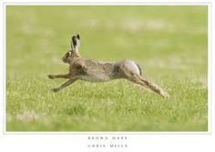 hare photograph - Google Search