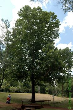 american trees - Google Search