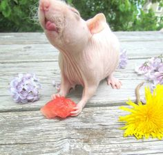 Ratties added a new photo. Hairless Rat, Hairless Animals, Funny Rats, Cute Rats, Animals And Pets, Baby Animals, Cute Animals, Cute Mouse, Guinea Pigs