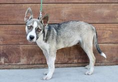 Meet Blossom- an adopted Husky & Shepherd Mix Dog, from Bark n' Bitches - Jimi's Angels in Los Angeles, CA on Petfinder. Learn more about Blossom- today. Husky Shepherd Mix, Rescue Puppies, Boston Terrier, Adoption, Dogs, Animals, Animales, Boston Terriers, Animaux