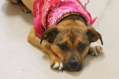 NAME: Bonnie  ANIMAL ID: 27684584 BREED: chi  SEX: female (spayed)  EST. AGE: 2 yr  Est Weight: 25 lbs  Health: heartworm neg, developing cherry eye in left eye  Temperament: dog friendly, people friendly.  ADDITIONAL INFO: RESCUE PULL FEE: $49  Intake date: 4/28  Available: Now