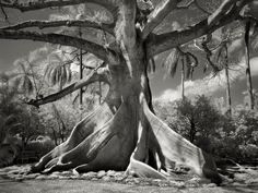 Kapok Tree, Palm Beach, Florida, 2004. Kapoks of this size usually inhabitant the rain forest, but Moon found this one in Florida on a private estate, with roots that rise 12 feet above the ground.    | Credit: Beth Moon