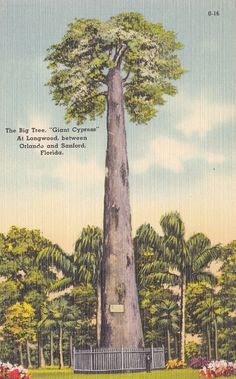 FL Florida LONGWOOD Old Giant Cypress The Big Tree 1930s Linen Vintage Postcard