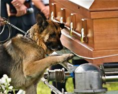 Bardstown, Ky., police officer Jason Ellis had stopped to remove debris off the road when an unknown assailant ambushed him, killing him with a shotgun barrage. Ellis' funeral, held last Thursday, drew law enforcement officers from several states, but the most touching tribute came from Ellis' K-9 unit partner Figo, who placed his paw on Ellis' casket-stand when he was led up for one last goodbye.
