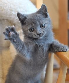 Chartreux kittens - This would be a great cat! <3