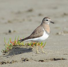 The Rufous-chested Plover or Rufous-chested Dotterel (Charadrius modestus) is a species of bird in the Charadriidae family. It breeds in southern parts of Argentina and Chile and on the Falkland Islands./by Cristián Pinto
