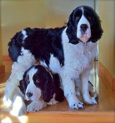 my two beautiful springers - Mojo (standing) and Jocomo