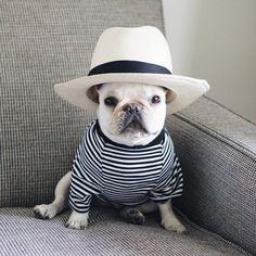 French Bulldog in a Fedora, delta-breezes: PIggy & Polly