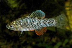 North American Native Fishtanks • Rainwater Killifish (Lucania parva) (Image Source)
