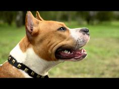 Super Stylish #Leather #Dog #Collar for Large #Breed #Dogs - YouTube