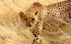 cheetah computer backgrounds wallpaper