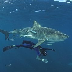 Photo by @thomaspeschak Out-take from 2015 @natgeo magazine story on southern African marine reserves. A free diver swims beneath a tiger shark in the Aliwal Shoal marine reserve off South Africas East coast. @thephotosociety @natgeocreative For more shark images follow #NatGeo photographer @thomaspeschak  #picoftheday #fun #love #nature #adventure #ocean #shark #southafrica #photooftheday by natgeo