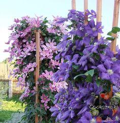 Правила выращивания клематисов    1. Клематисам важна тщательная подкормка и полив.  Место для растения подготовьте заранее, так как цветок уютно чувствует себя в нейтральных, слабокислых и слабощелочных почвах. Учтите, что свежий навоз и кислый торф клематисам вредят.    2. Правильно выбранная глубина посадки – залог хорошего разрастания клематиса. http://ogorodko.ru/category/dekorativnyye-rasteniya-dlya-sada Яма должна быть размером 40х40 см, а сам саженец следует заглублять на 10 см…