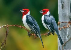 Red-cowled Cardinal  (Paroaria dominicana) is a bird species in the tanager family (Thraupidae).-