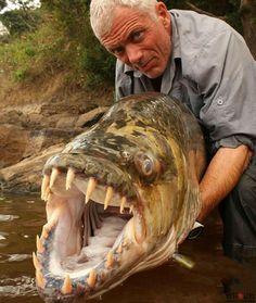 African Goliath Tiger Fish