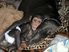 Amazing! Neapolitan Mastiff adopts an orphaned chimpanzee and raises it with her pups -- real life Romulus/Remus?