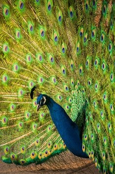 Indian peafowl (Pavo cristatus) by Sam Scholes, via Flickr