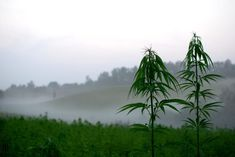 Hemp Cleans Up Radioactive Soil and So Much More - Could hemp be the plant that saves the planet? It is the best soil contaminant cleaner, and that includes radioactive waste. Is there anything hemp can't do? Cannabis Growing, Cannabis Plant, Cannabis Oil, Cash Crop, Hardy Plants, Plant Species, Buy Weed, Save The Planet, Blur
