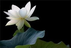 White Lotus Flower on Black  - 45 Beautiful Louts Flowers  <3 <3