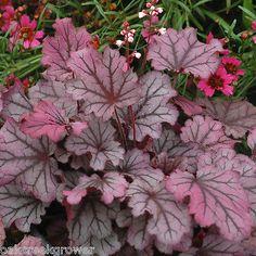 Heuchera Sugar Berry New Mini Colorful Healthy Coral Bells ✿live Potted Plant✿ | eBay