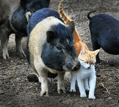 pigs with visitor