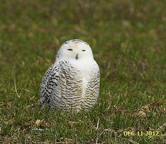 snowy owl in Courtenay!!