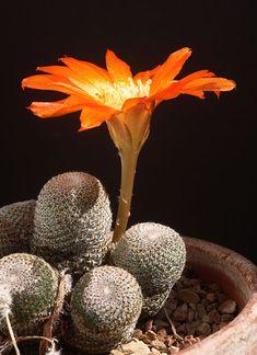 Sulcorebutia heliosa