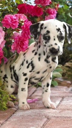 I believe with all my heart that Dalmatian puppies are some of the cutest dogs in the world.