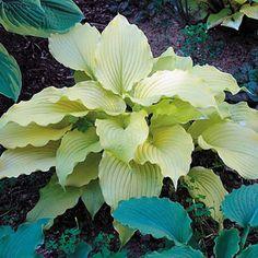 Dancing Queen Hosta Plant - When other Hostas turn green in the heat, 'Dancing Queen' becomes even more creamy primrose!
