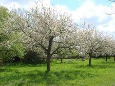 Onmisbaar in een landelijke tuin: fruitbomen!!
