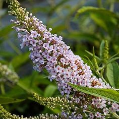 Les Kneale Butterfly bush plant / flower - The beautiful light pink flowers give off a wonderful fragrance. Buddleja 'Les Kneal' blooms in midsummer and prefers to be in full sun. A strong shrub that makes a good specimen plant and is very hardy.