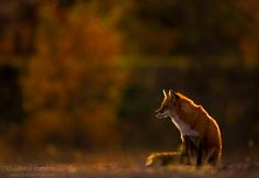 Taking a moment to say goodbye to the setting sun Foxes Photography, Photography Ideas, Fox Collection, Fantastic Fox, Red Fox, Spirit Animal, Marathon, The Past, Wildlife