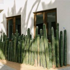 How to care for you Mexican Fence Post Cactus — Cactus Hound Indoor Cactus, Indoor Plants, Cactus Cactus, Outdoor Cactus Garden, Cacti Garden, Agaves, Small Gardens, Outdoor Gardens, Landscape Design