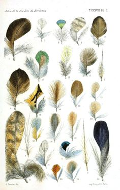 Vintage Feather Study-c Art Print by Jean Plout. All prints are professionally printed, packaged, and shipped within 3 - 4 business days. Colorful Feathers, Bird Feathers, Vintage Birds, Vintage Colors, Album Vintage, Types Of Feathers, Illustrations Vintage, Feather Drawing, Nature