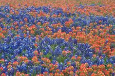 Indian Paint Brush and Texas Bluebonnets...