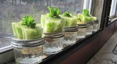 Re-growing Lettuce It?s not a hard concept. Stick the crown end in water after you& cut off all the lettuce. I figured I ?d give it a shot and I have to say, so far I have been amazed.ll see what happens going forward. Growing Plants, Growing Vegetables, Regrow Vegetables, Regrow Celery, Organic Gardening, Gardening Tips, Organic Farming, Growing Lettuce, Edible Garden