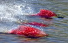 Spawning Bristol Bay sockeye salmon