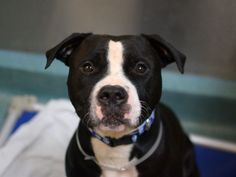 """SPARKY - A1054349 - - Brooklyn  TO BE DESTROYED 10/21/15 Healthy, young, playful, full of life but Sparky's caught the """"shelter cold"""" at Brooklyn ACC and now he's to be euthanized tomorrow. His people's housing issues led Sparky and his best buddy Princess to sit in cages, separated for the first time in their lives, losing their family and their home. Sparky did really well on his behavioral eval but he's a bit of a rough and tumble baby who needs to expend all"""