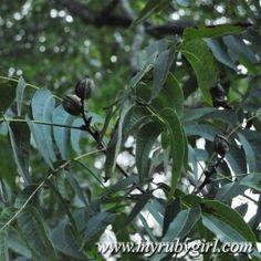 Southern Pecans / Pecan Tree