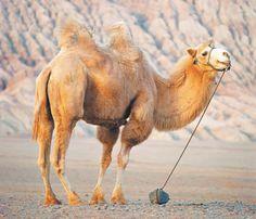 "Bactrian camel near Huoyan (""Flaming"") Mountain, Uygur Auton Extinct Animals, Rare Animals, Animals And Pets, Wild Animals, Alpacas, Beautiful Horses, Beautiful Birds, Bactrian Camel, Colorful Parrots"