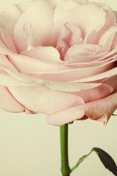 exquisite rose