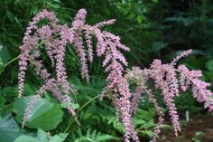 Ostrich Plume Astilbe for sale buy Astilbe 'Straussenfeder'
