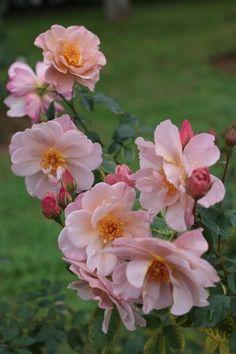 Floribunda Rose: Rosa 'Lavender Pinocchio' (U.S., 1948)