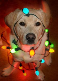 Christmas lab!  If I could get Percy to sit still long enough, I'd do this :)