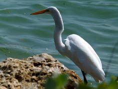 Egret - Sanibel & Captiva Island, Florida, USA - www.sanibel-captiva.org