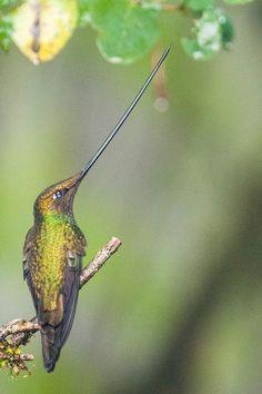 Sword-billed Hummingbird  ♥ ♥   www.paintingyouwithwords.com