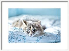 Cat Framed Print featuring the photograph Relaxing Gray Cat by Oksana Ariskina on @pixels and @fineartamerica. Sad kitten lie and sleep on blue duvet cover.  Buy print and other product with my fine art photography online: www.oksana-ariskina.pixels.com #OksanaAriskina